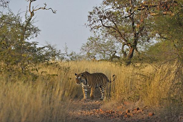 wild tiger habitat