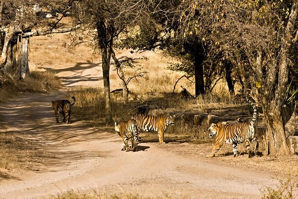 tiger family in ranthamboore